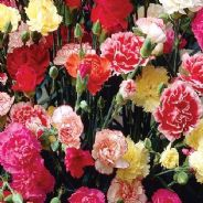Dianthus Giant Chabaud Mix - Carnation - Appx 650 seeds